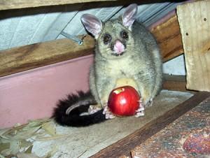 Possum Control Melbourne Pest Control Empire
