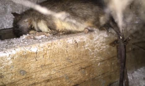 Rat Amp Mouse Control Melbourne Pest Control Empire