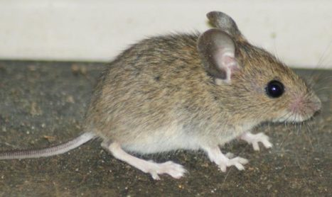 Mouse Infestation In Plumpton Pest Control Melbourne