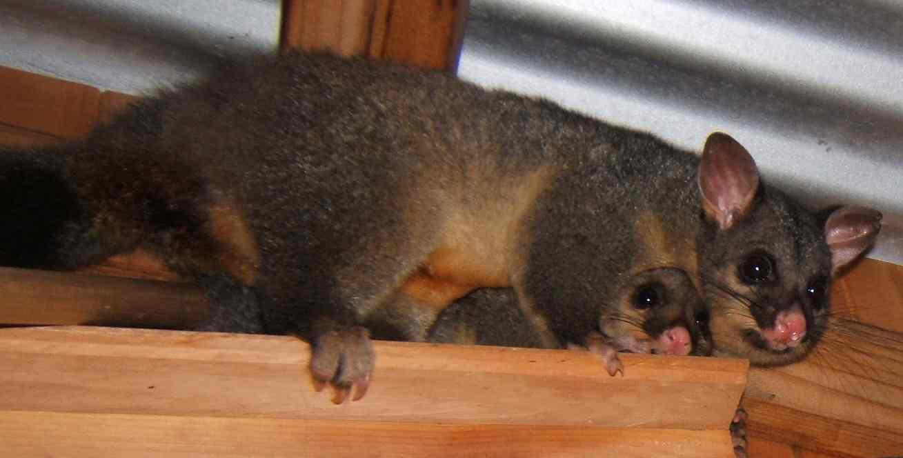Pest Control Ringwood Possums Rodents Insects Pest